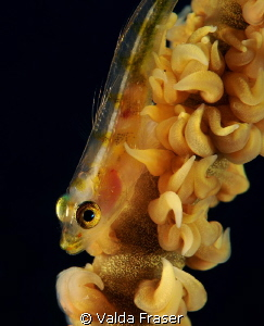 A whip coral goby. by Valda Fraser 